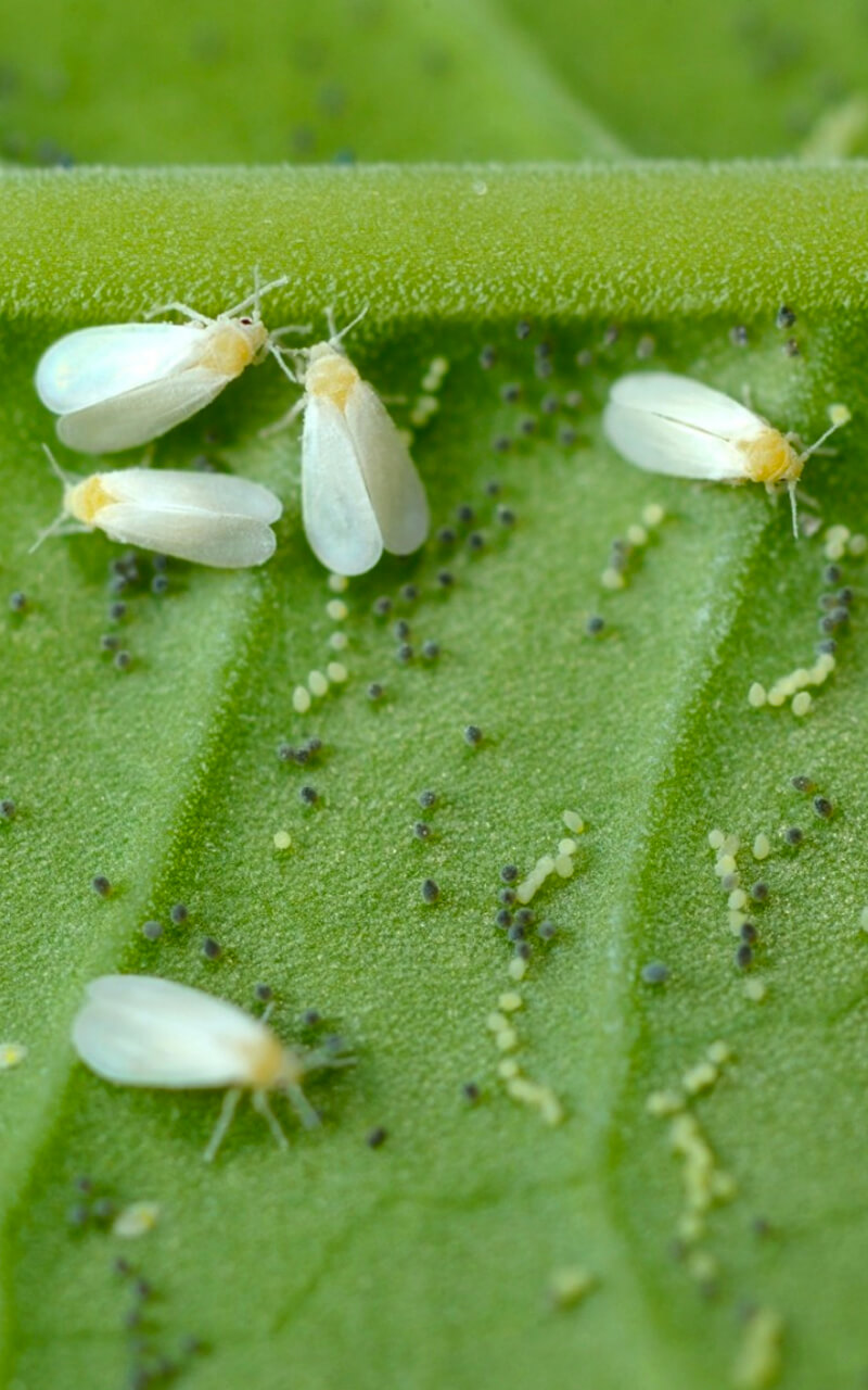 how to control whiteflies