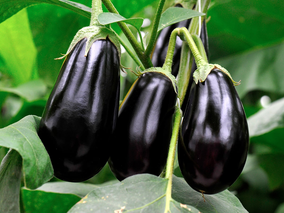 crop-spray-programs-eggplant-min