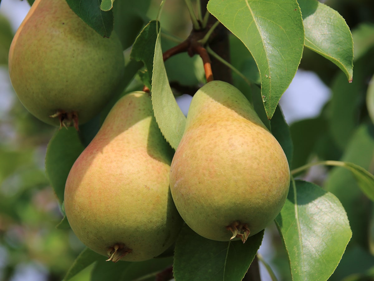 crop-spray-programs-pear-min