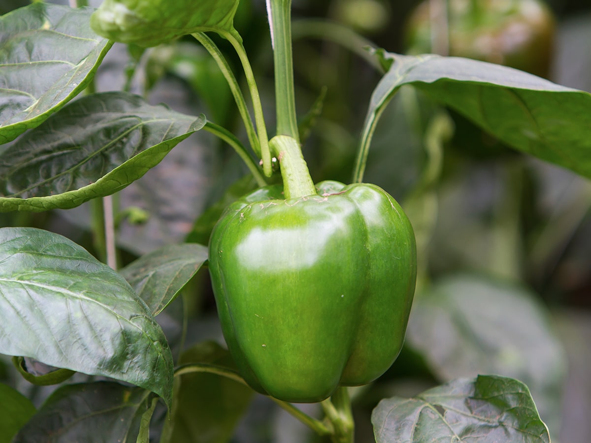 crop-spray-programs-pepper-min