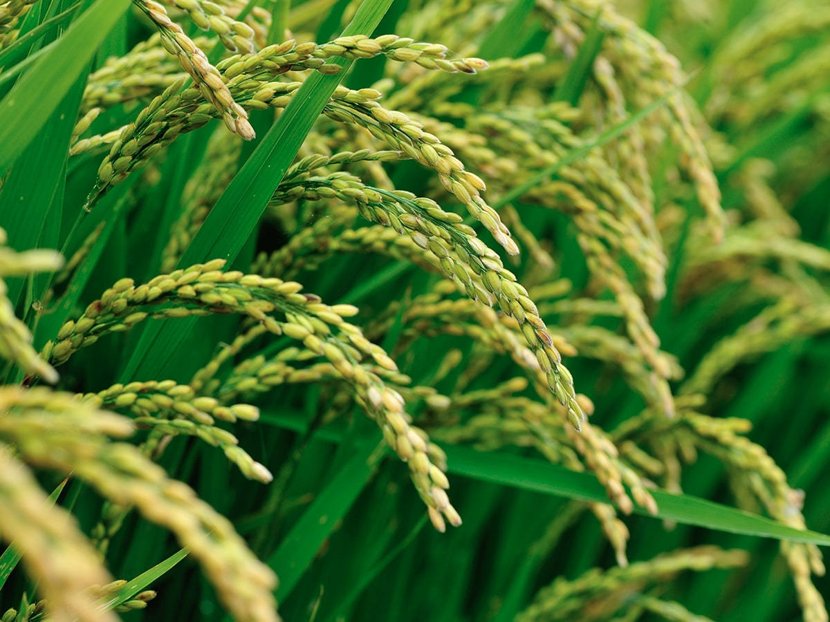 crop-spray-programs-rice-min