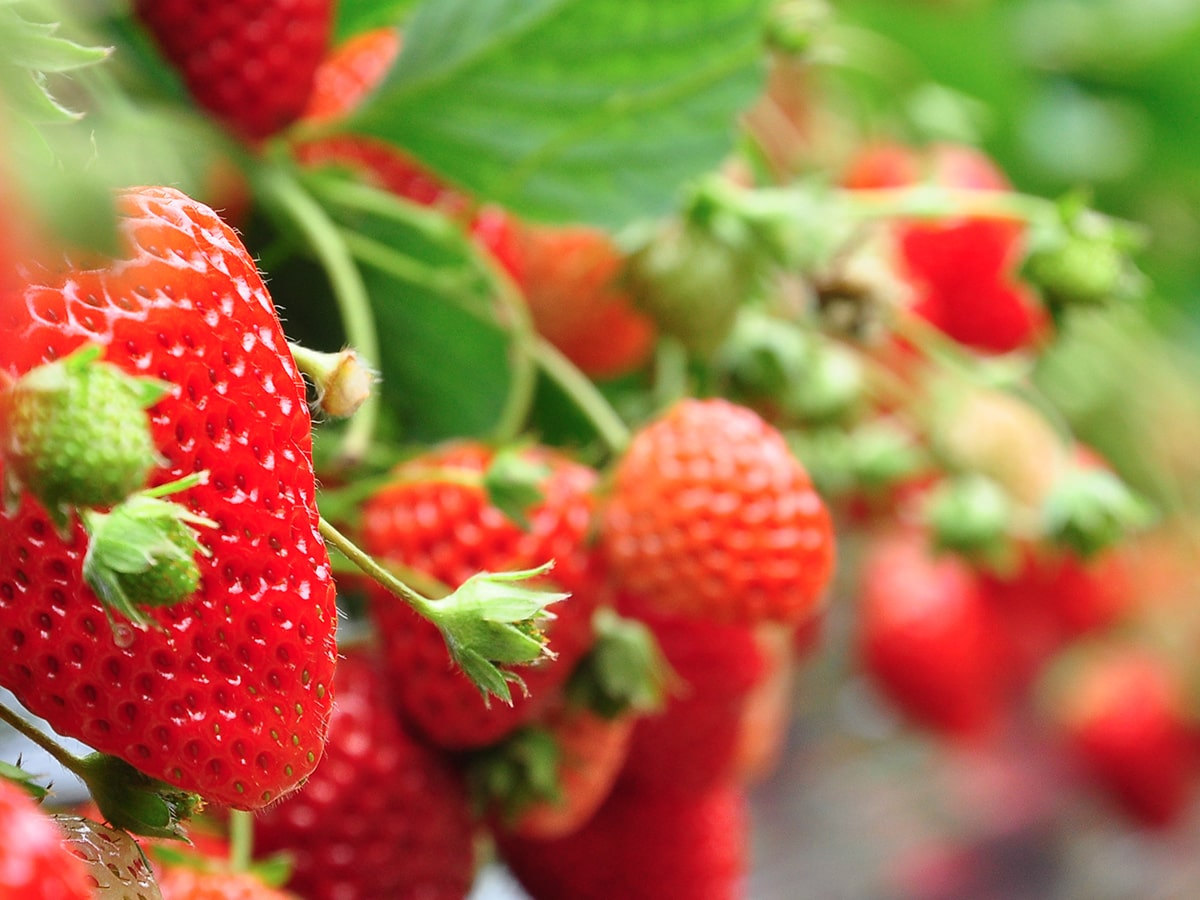 crop-spray-programs-strawberry-min