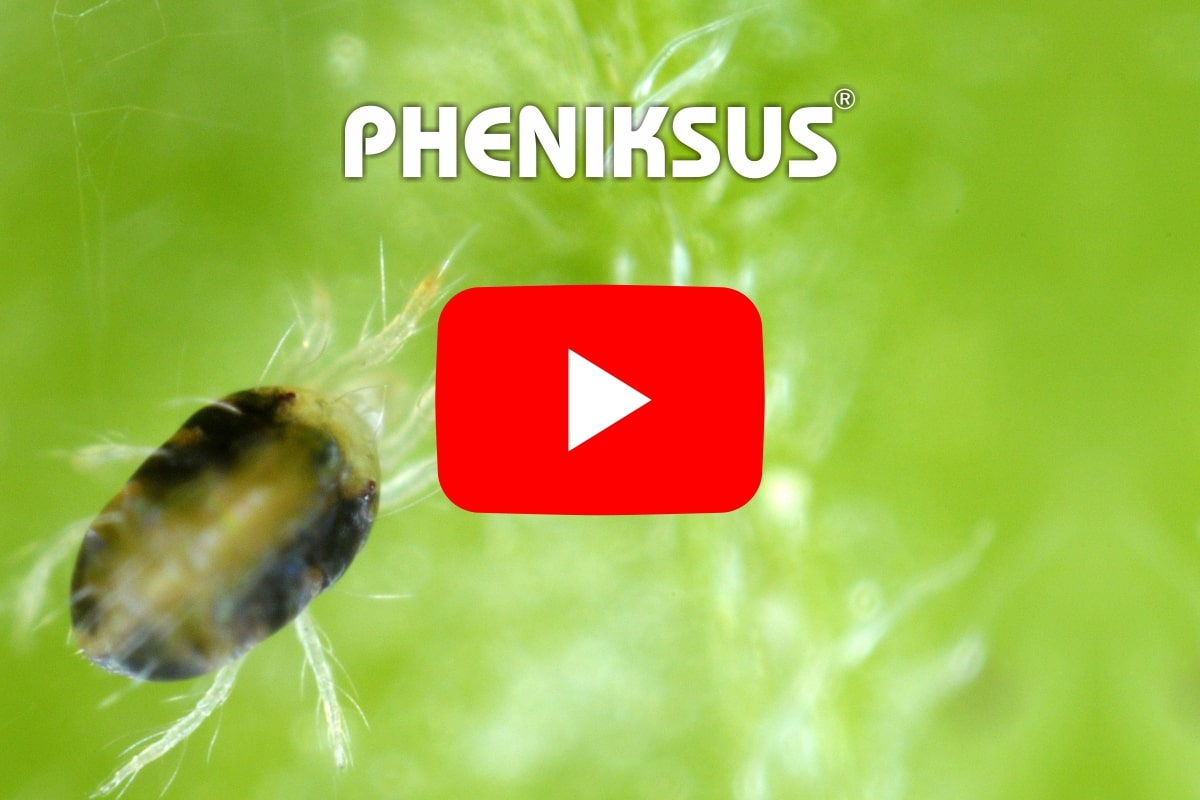 prochemica pheniksus video